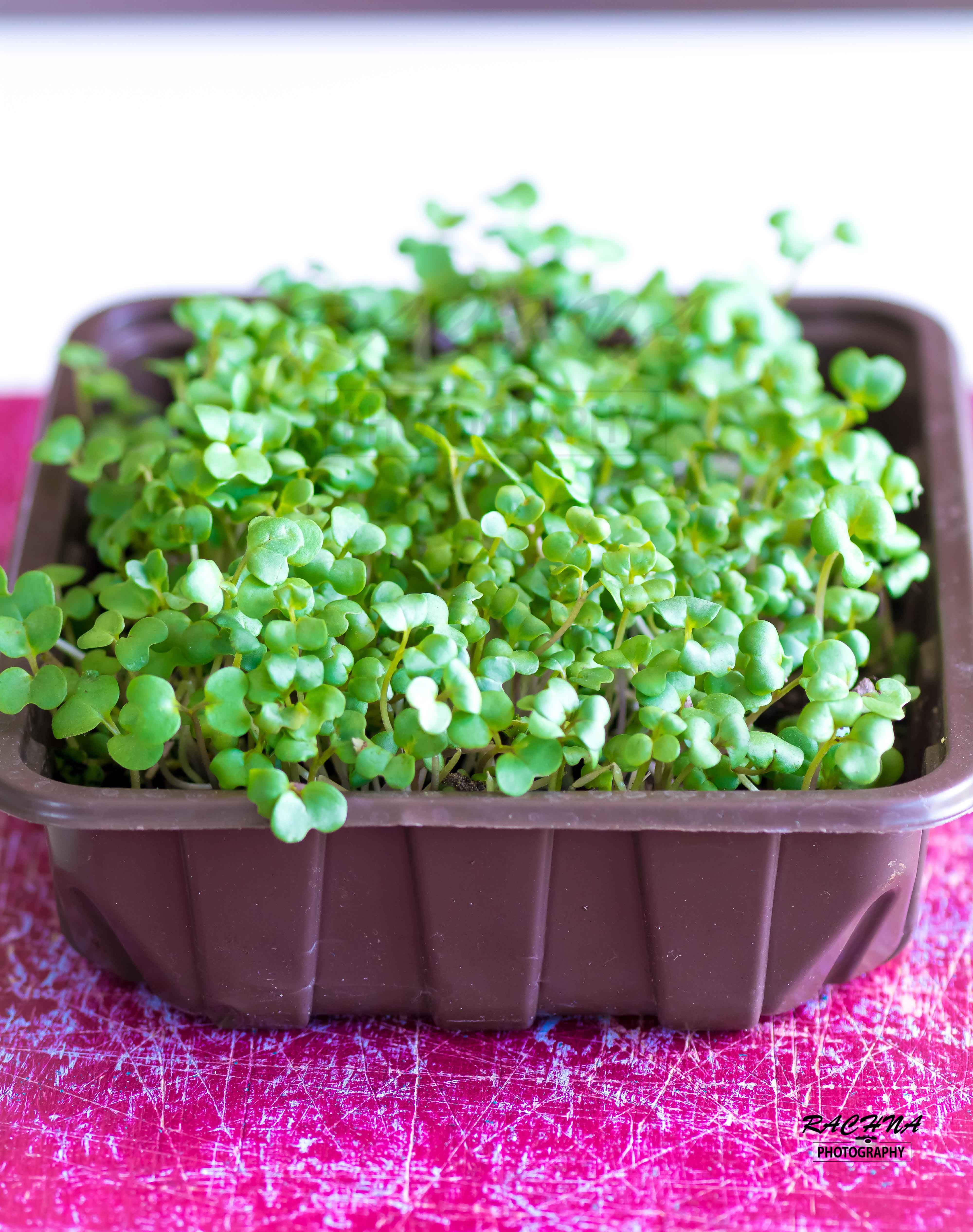 How to grow indoor mustard micro-greens in just 3 days